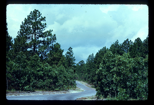 Photograph of Weymouth Woods-Sandhills Nature Preserve ca. 1970, before the understory was opened using prescribed burns. From the North Carolina State Parks Collection.
