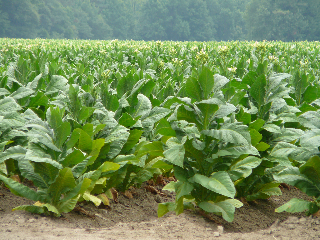tobacco plants with small yellow flowers at the head