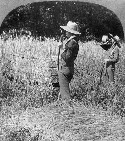 Cutting wheat with a cradle