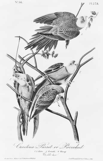 Lithograph of Carolina parakeets from a drawing by John James Audubon. North Carolina Collection, University of North Carolina at Chapel Hill Library.