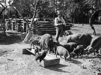 A farmer in Northampton County feeds his hogs, 1939. Photograph by Charles Anderson Farrell. North Carolina Collection, University of North Carolina at Chapel Hill Library.