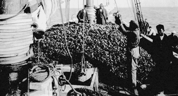 Oysters piled high on the deck of a sailing vessel at Washington, N.C., 1884. Courtesy of North Carolina Office of Archives and History, Raleigh.