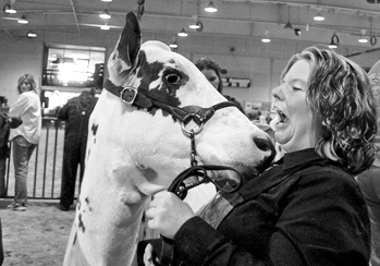 Nicole Kirkland reacts to an affectionate lick from her Ayrshire cow Vavavavroom, winner of the summer yearling competition at the 2003 state fair. Photograph by John L. White. Raleigh News and Observer.