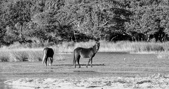Wild horses grazing in a marsh on Shackleford Banks. Photograph courtesy of North Carolina Division of Tourism, Film, and Sports Development.