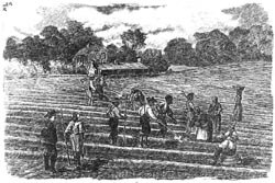 Slaves planting cotton