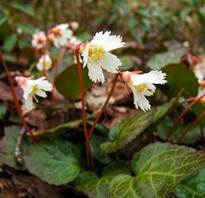 A picture of shortia galacifolia, or Oconee Bells, discovered by Andre Michaux. Image from Flickr user zen Sutherland.