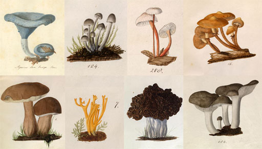 """Eight of the 940 watercolor illustrations of fungi by Lewis David von Schweinitz in the Academy Archives. Ewell Sale Stewart Library and Archives Coll. no. 437. """