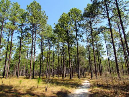 """Forest - longleaf pines Weymouth Woods SP 1805."" 2011. By Flickr user bobistraveling."