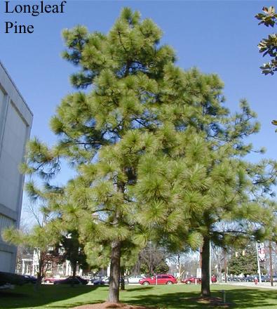 tree pine ncpedia