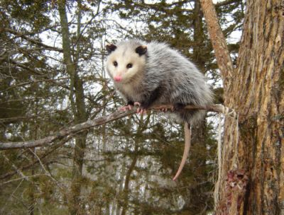 """Virginia Opossum."" Photo by NC Wildlife Resources Commission."