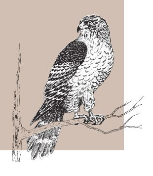 Red Shouldered Hawk From Nc Wins Ncpedia