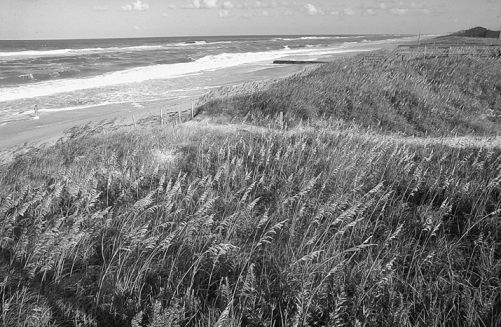 Sand dunes at Cape Hatteras National Seashore covered with stabilizing plants. Photograph courtesy of North Carolina Division of Tourism, Film, and Sports Development.
