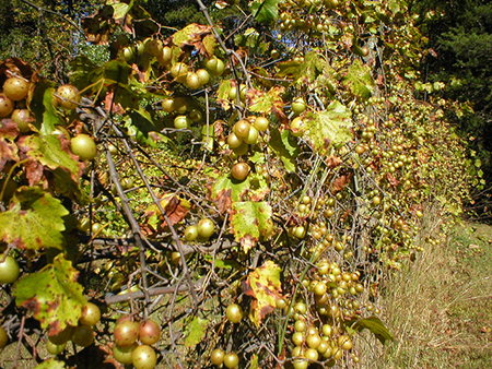 "Mandie (Flickr user captivated), 2003. ""Scuppernongs getting ripe."""