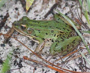 southern leopard frog from nc wins ncpedia