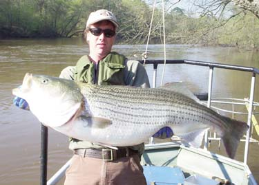 Striped bass from nc wins ncpedia for Striper fishing nc