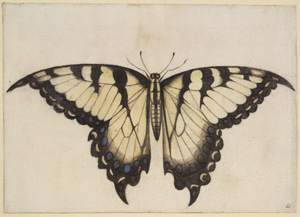 John White's early depiction of the male Eastern tiger swallowtail