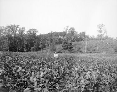 Tobacco field somewhere in North Carolina about 1941. From the Albert Barden Collection, North Carolina State Archives, Raleigh, NC, call #:  N.53.16.4455.