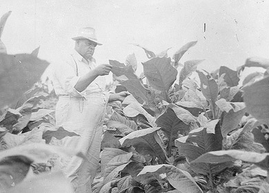 Unidentified man in tobacco field inspecting leaves, no date (1920's-1930's). From the Dunn Area (Lewis White Studio) Photo Collection, PhC.121, North Carolina State Archives, Raleigh, NC, call #:  PhC.121-38.