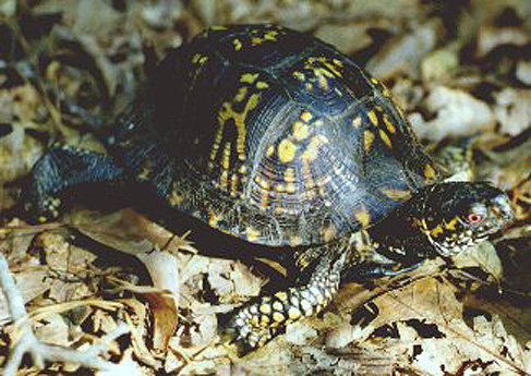 Eastern Box Turtle