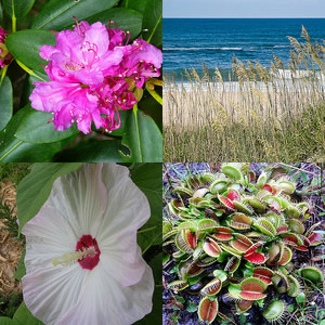 "Clockwise from top left: (1) ""Pink Rhododendron,"" photo courtesy of Flickr user 'NC Hiker', Posted June 14, 2011. Photo taken at Roan Mountain. (2) ""Sea Oats and Ocean Surf,"" photo courtesy of Flickr user 'Bumeister1',  Image posted on July 18, 2008. Photo taken at <a  data-cke-saved-href="