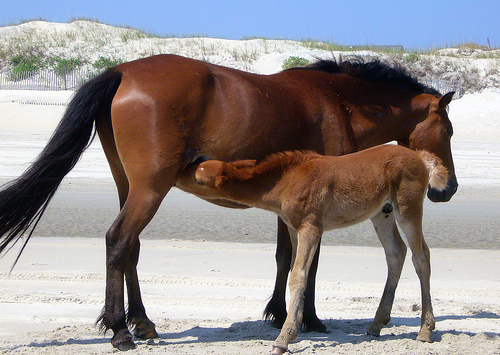 Two horses in the Outer Banks