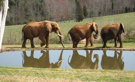 Elephants at the NC Zoo. Image courtesy of Flickr.
