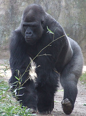 Western Lowland Gorilla, NC Zoo. Image courtesy of Flickr.